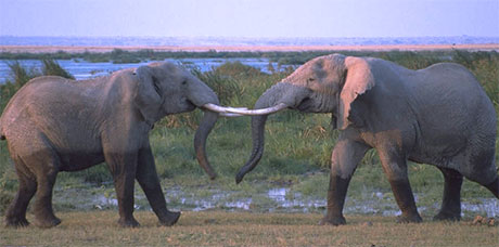 fighting elephants
